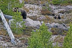 Momma and the 3 bears (littlebiddle) Tags: bear nature animals mammal yellowstonenationalpark cubs wildife