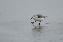 _HNS6640 Drieteenstrandloper : Becasseau sanderling : Calidris alba : Sanderling : Sanderling