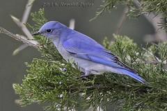 Mountain Blue Bird IMG_7864 (ronzigler) Tags: blue mountain bird nature sigma bluebird avian birdwatcher mountainbluebird 150600mm