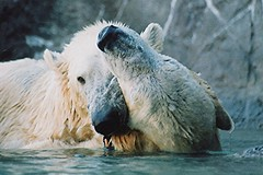 """Hey, don't bite the ear!"" (ucumari photography) Tags: 2003 bear animal mammal zoo oso nc north january polarbear carolina willie willy masha eisbr wilhelm ursusmaritimus  oursblanc osopolar  ourspolaire orsopolare jkarhu  ucumariphotography sbjrn niedwiedpolarny"