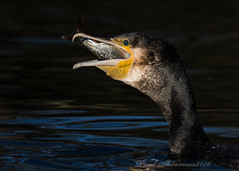 Almost gone........ (muppet1970) Tags: fish nature water eating wildlife cormorant roach ipswich christchurchpark