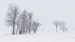Trees in a snowy field (virgil martin) Tags: trees winter snow ontario canada landscape gimp wellesleytownship waterlooregion microsoftice oloneo olympusomdem5