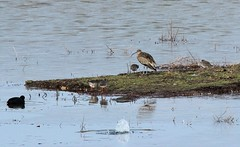 Curlew & Redshank, North Cave Wetlands (robin denton) Tags: curlew redshank wildlifetrust wader yorkshirewildlifetrust ywt northcavewetlands