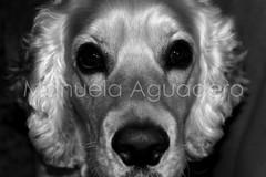#curro #2009 #perro #dog #cocker #cockerspaniel #animal #miprincipe #love #photography #photographer #sonyalpha #sonyalpha350 #sonya350 #alpha350 (Manuela Aguadero) Tags: dog love blancoynegro animal photography wb bn perro cocker cockerspaniel whiteandblack curro phographer sonyalpha sonyalpha350 sonya350 alpha350 miprncipe