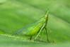 Juvenile Lantern Bug [?] 2 (Mika Andrianoelison) Tags: macro nature closeup fauna wildlife insects bugs juvenile madagascar k3 lanternbug justpentax
