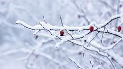 2016-01-15_07-08-58 (wiktor_furmaniak) Tags: winter wild rose 50mm minolta sony naturecollection naturecomposition absolutelyperrrfect flickrunitedaward alpha65