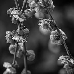 Too early to bloom (PeterThoeny) Tags: california flower monochrome garden spring raw bokeh saratoga depthoffield bloom hakonegardens photomatix fav200 1xp nex6 sel50f18
