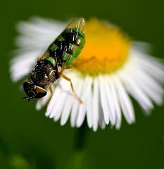 insolita... (andrea.zanaboni) Tags: macro colors insect nikon dettagli colori insetto strano insolito