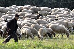 Meglio esser miti o determinati? (Maurizio Belisario) Tags: rome roma nature shepherd natura sheeps pecore pastore gregge parcodegliacquedotti