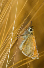 Small Skipper (WaterBugsPics) Tags: morning summer food detail nature barley animal animals horizontal closeup digital sunrise butterfly bug insect outside outdoors dawn one golden daylight foods day outdoor details grain harvest skipper butterflies naturallight insects nobody nopeople frombelow bugs fromabove only mornings daytime grains sunrises closeups topview harvesting skippers overheadview dawns darkyellow horizontals smallskipper colorimage outsides harvests topviews lowangleview naturedetail highangleview naturedetails colourimage colorimages colourimages overheadviews highangleviews lowangleviews flatshots flatshot fotocompetiionbronze janisjansmithpics