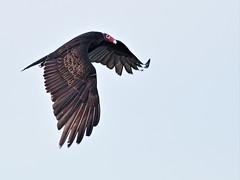 Turkey Vulture 2-20160211 (Kenneth Cole Schneider) Tags: florida miramar westbrowardwca