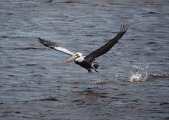 Taking flight (pilechko) Tags: color bird water bay florida action pelican telephoto sanibel