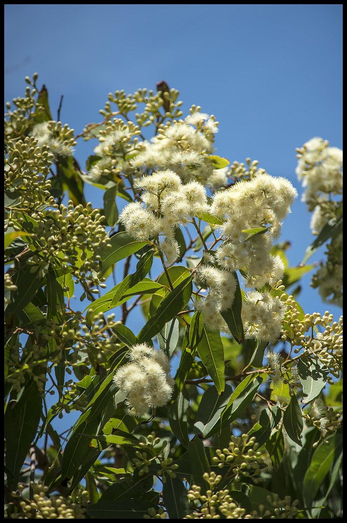The worlds newest photos of flowering and gum flickr hive mind white flowering gum 1 shebaalso 43000 photos tags white gum flowering mightylinksfo