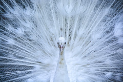 White peacock_1085-2 (ichauvel) Tags: winter portrait white bird up look de amazing eyes nikon europe day looking close hiver feathers ile peacock malta jour yeux blanc oiseau regard malte plumage paon tonnant