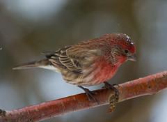 Roselin Familier (staubin.gabriel) Tags: bird rouge oiseau oiseaux familier roselin