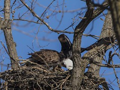 BALD EAGLES EAT CHICKEN 8 OF 13 (nsxbirder) Tags: baldeagle indiana haliaeetusleucocephalus brookville whitewaterriver franklincounty leveeroad