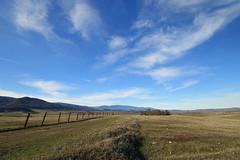 Cattle county west of Orland. (trifeman) Tags: california winter canon glenn 7d february 2016 glenncounty canon7dmarkii