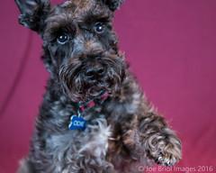 Odie (Dash68) Tags: family schnauzer february odie woodbury 2016 tamron1750