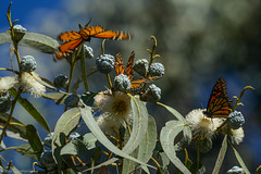 Welcome to the breakfast! (tyil.pics) Tags: california butterfly bokeh monarch nikond800e