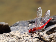 035A9034 (damianbuck54) Tags: red rock scarlet iron bright little dragonfly knife plate double blade thin percher diplacodes haematodes