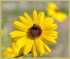 No rest for the bees (tdlucas5000) Tags: flower macro bokeh bees bee sunflower daisy honeybee hdr sigma105 fullsun photomatix