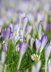 the lost daisy (bugman11) Tags: flowers flower nature petals flora nikon purple bokeh nederland thenetherlands crocus daisy krokus bellisperennis