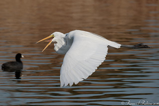Rubino Great Egret in flight tongue out 20160213 San Diego River Channel_Santee Lakes 386-2
