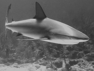 Curious Reef Shark - Nassau, Bahamas