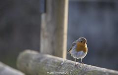 Pino il pettirosso (MatteoSlanzi) Tags: nature animals fauna canon lights flickr alba tamron manfrotto pettirosso torbiere 500px