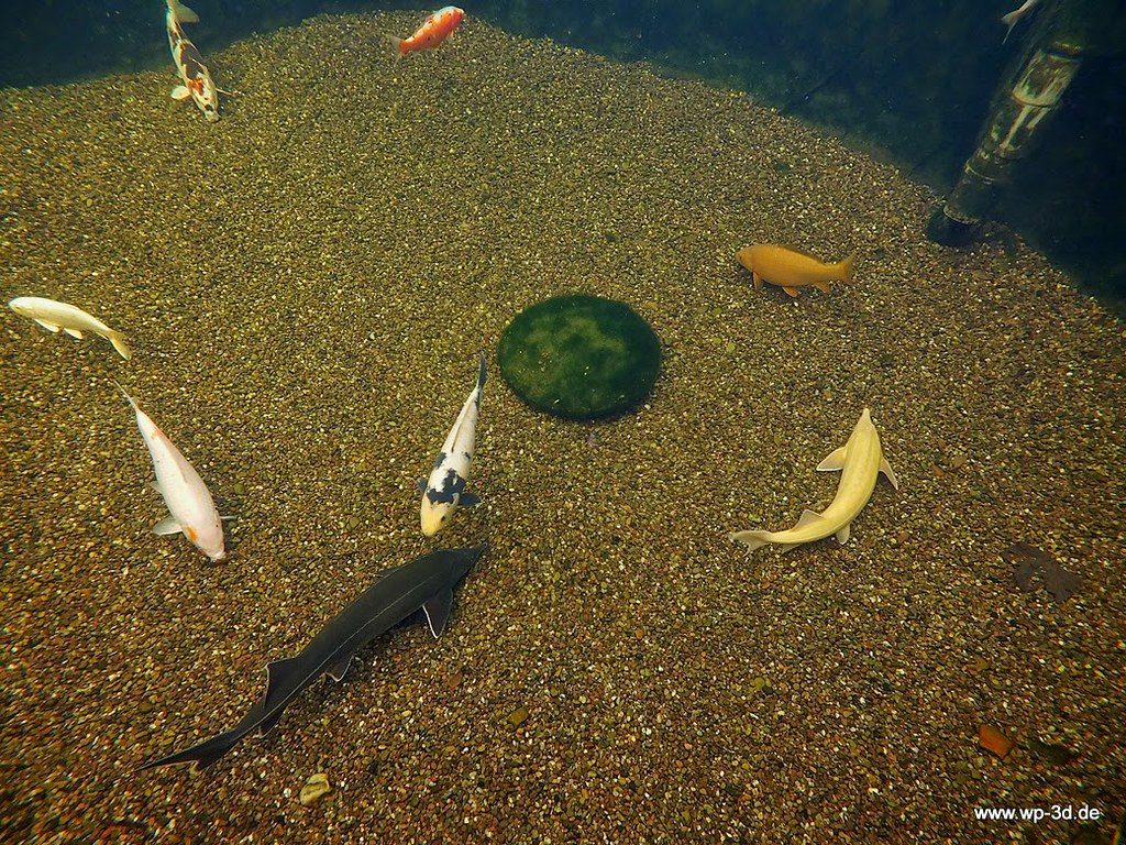 The world 39 s best photos of aquarium and koi flickr hive mind for Koi aquarium