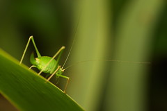 antenna (Stefan Zwi. ...catching up :-)) Tags: color macro cute green texture nature field closeup insect outdoors photography colorful soft colours bokeh outdoor head sony flash small 7 sigma sharp single micro bunch backgrounds grn insekt softbox depth muster f28 a7 antenna schrfentiefe 105mm textur ilce fhler leptophyes punctatissima langfhlerschrecke zartschrecke punktierte emount organisches