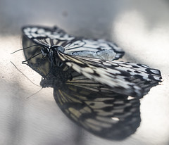 Butterfly resting (GorissenM) Tags: flowers orchid netherlands nederland tuin bloemen hoeve orichidee