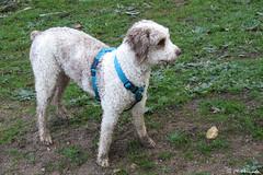 012174 - Letizia (M.Peinado) Tags: copyright españa dog dogs animal canon spain perro perros animales letizia mascota castillayleón 2016 perrodeagua laadrada provinciadeávila canonpowershotsx60hs febrerode2016 14022016