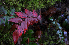 Oregon Grape in the Columbia River Gorge (ingridfreaney) Tags: plant oregon river moss pacific northwest columbia gorge shrub pnw grape