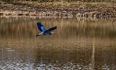 Herons Always Leave (brev99) Tags: water wings pond tulsa greatblueheron birdinflight d7100 ononesoftware topazdenoise tamron70300vc highqualityanimals perfecteffects9