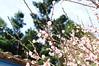 DSC02440 (Josie L.) Tags: flower 花 miaoli 苗栗 plumflower 梅花 苑裡