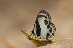 Straight-line Pierrot (Caleta roxus pothus) (moloch05) Tags: malaysia taman negara