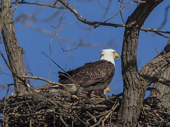BALD EAGLES EAT CHICKEN 7 OF 13 (nsxbirder) Tags: baldeagle indiana haliaeetusleucocephalus brookville whitewaterriver franklincounty leveeroad