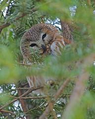 Northern Saw-whet Owl (Keith Carlson) Tags: owls aegoliusacadicus northernsawwhetowl