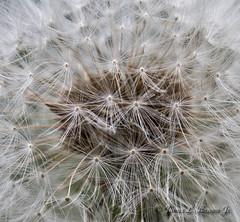Dandelion17 (jb5860) Tags: artisticphotos bestartistic jb5860