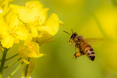 In The Field of Rapeseed (kurumaebi) Tags: macro nature landscape nikon blossom bee d750 yamaguchi 花 マクロ 菜の花 蜂 秋穂 山口市