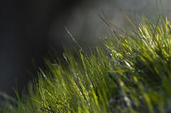 Drops on Grass (davidequarantiello http://dd0595.wixsite.com/david) Tags: italy verde green grass drops italia pentax bokeh drop erba dew toscana rugiada prato goccia goccie allnaturesparadise pentaxk50 55300wr 55300hdwr
