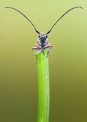 Bad reception? (johnhallmen) Tags: macro insect coleoptera longhornbeetle cerambycidae phytoecia sigma18035 zerenestacker sonynex7