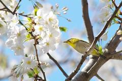 メジロとさくら。千鳥ヶ淵で (Matryokeshi) Tags: flowers bird japan tokyo cherryblossom 日本 sakura 東京 sunnyday mejiro chidorigafuchi さくら 千鳥ヶ淵 весна メジロ flowerlovers сакура япония токио цветениесакуры spring2016 сакуравтокио todayintokyo люблюцветы мэдзиро sakuraandmejiro сегоднявтокио