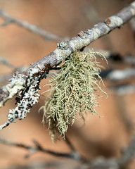 Usnea hirta (Bristly Beard Lichen) (Plant Image Library) Tags: park new england plants nature ecology beard march spring massachusetts gloucester lichen ravenswood hirta usnea bristly