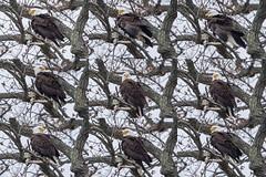 BALD EAGLE, BROOKVILLE, INDIANA (nsxbirder) Tags: adult baldeagle indiana haliaeetusleucocephalus brookville whitewaterriver franklincounty leveerdbrookville