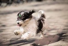 Superdog! It's so satisfying to catch moments like this :) (shotlifestudio) Tags: portrait dog toronto happy jumping running cutie cutedog streetsoftoronto