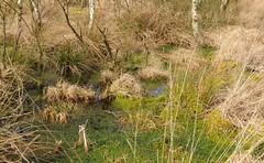 Spazierfahrt am letzten Tag im März - Torfmoos (Sphagnum sp.); Bergenhusen, Stapelholm (14) (Chironius) Tags: stapelholm bergenhusen schleswigholstein deutschland germany allemagne alemania germania германия szlezwigholsztyn niemcy norderstapel moor sumpf marsh peat bog sump bottoms swamp pantano turbera marais tourbière marécageuse grün