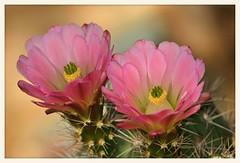 In the Pink (gauchocat) Tags: echinocereus