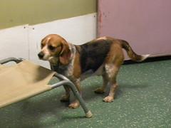 Django (happy_hounds) Tags: dogdaycare dog daycare puppy pups boarding cagefree dogsofflickr purebred rescuedog happyhounds plymouthmichigan happyhoundsdogdaycare